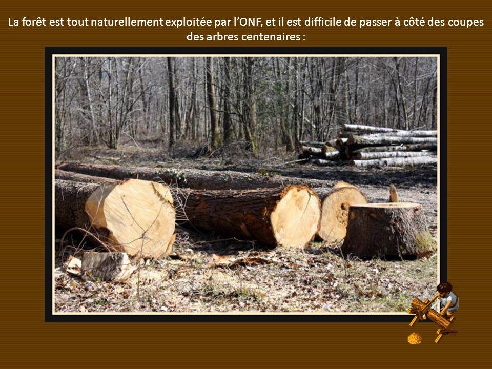 La forêt est tout naturellement exploitée par lONF, et il est difficile de passer à côté des coupes des arbres centenaires :