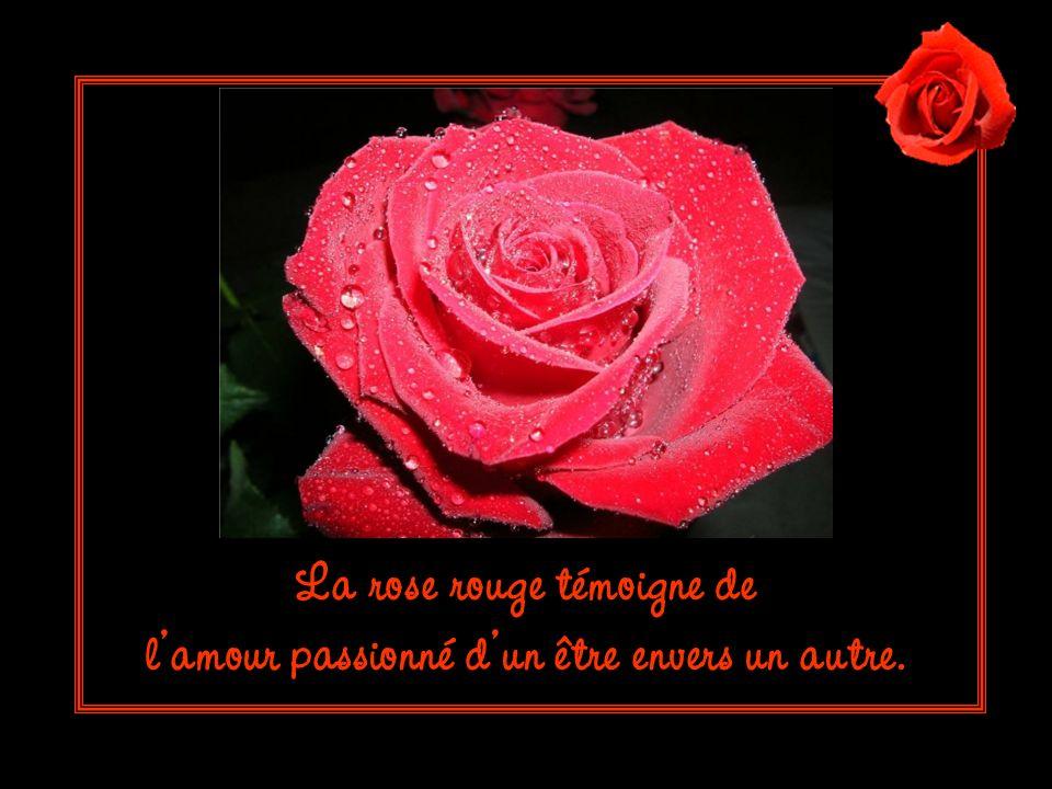 La rose rouge témoigne de lamour passionné dun être envers un autre.