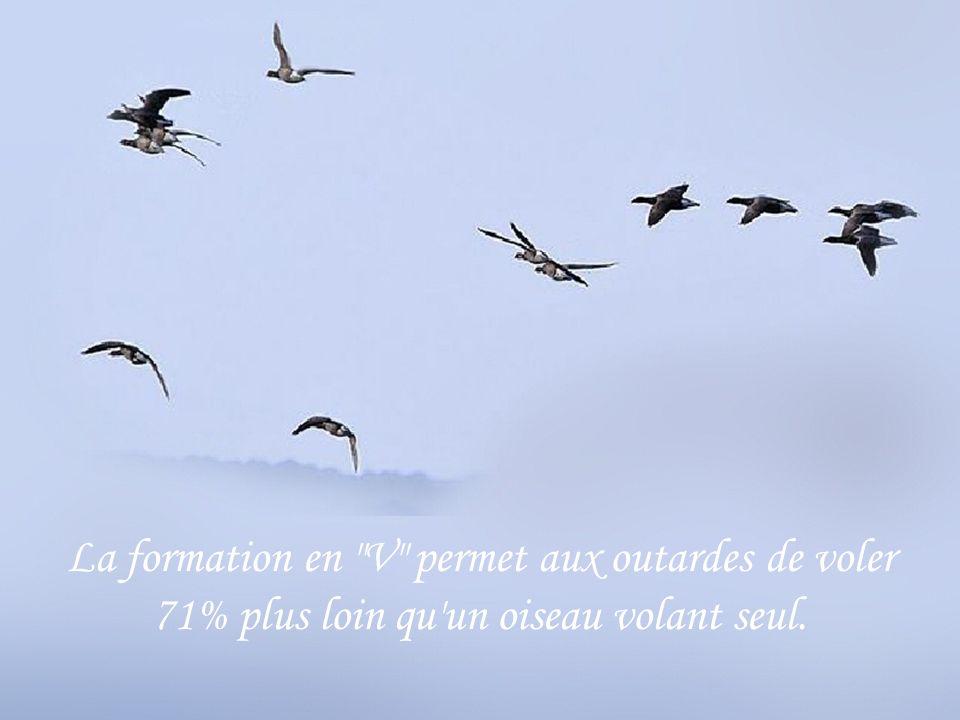 La formation en V permet aux outardes de voler 71% plus loin qu un oiseau volant seul.