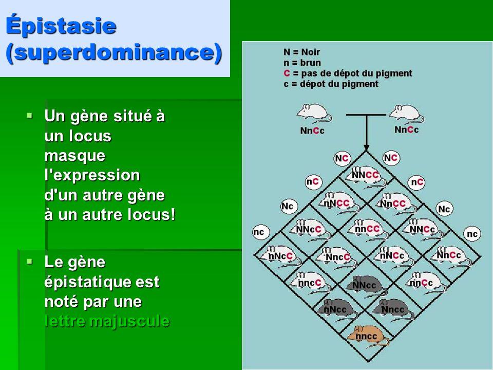 Épistasie (superdominance) Un gène situé à un locus masque l'expression d'un autre gène à un autre locus! Un gène situé à un locus masque l'expression