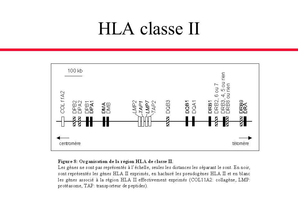 HLA classe II