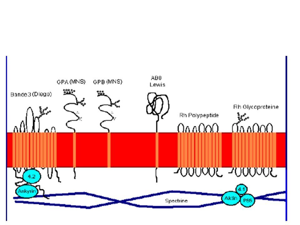 SYSTEME KELL Phénotypes Fréquence (France) KEL : -1,2K- k+91% KEL : 1,2K+ k+8,8% KEL : 1,-2K+ k-0,2% intérêt transfusionnel et obstétrical deux antigènes principaux : K (Kell) et k (Cellano).