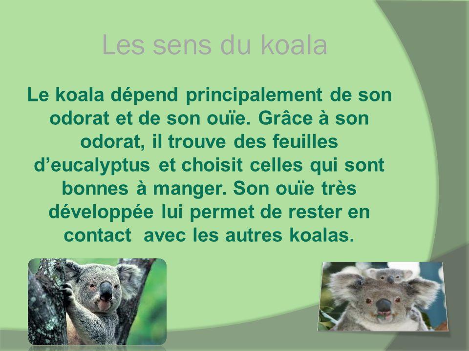 Les sens du koala Le koala dépend principalement de son odorat et de son ouïe. Grâce à son odorat, il trouve des feuilles deucalyptus et choisit celle