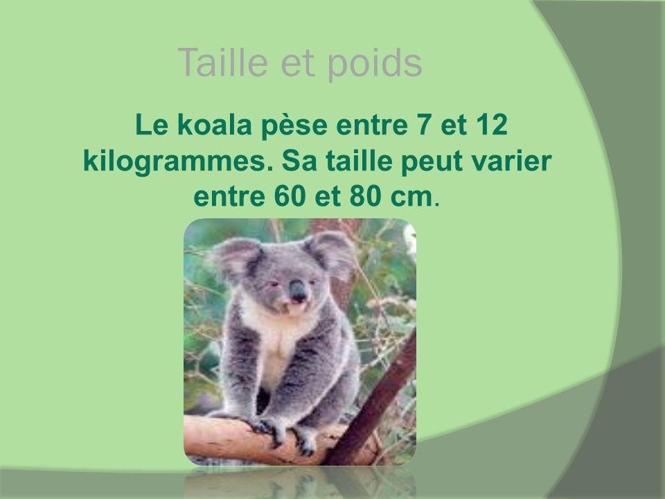 Taille et poids Le koala pèse entre 7 et 12 kilogrammes. Sa taille peut varier entre 60 et 80 cm.