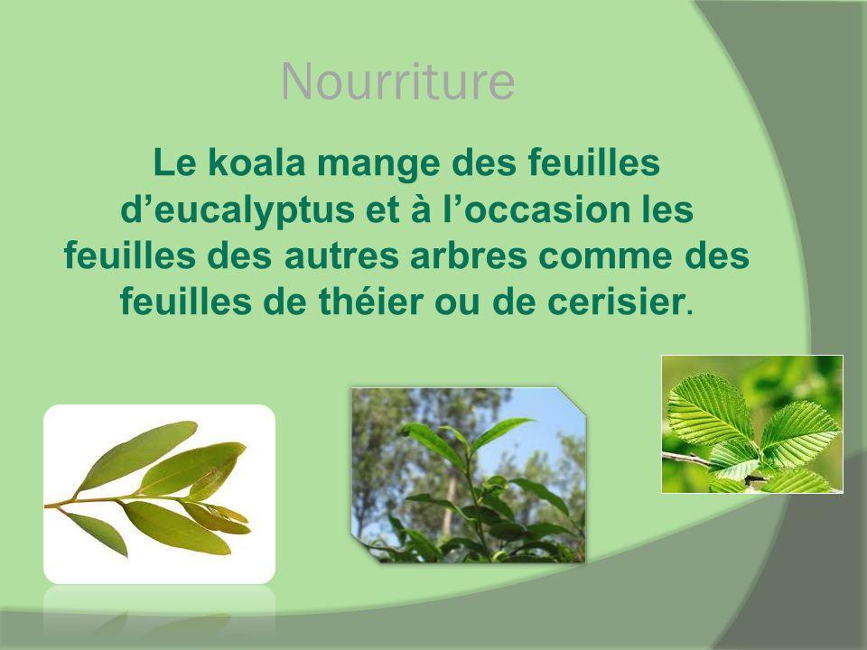 Nourriture Le koala mange des feuilles deucalyptus et à loccasion les feuilles des autres arbres comme des feuilles de théier ou de cerisier.