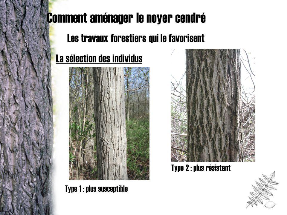 Comment aménager le noyer cendré Les travaux forestiers qui le favorisent Type 1 : plus susceptible Type 2 : plus résistant La sélection des individus