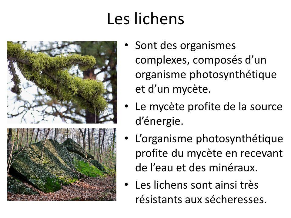 Les lichens Sont des organismes complexes, composés dun organisme photosynthétique et dun mycète.