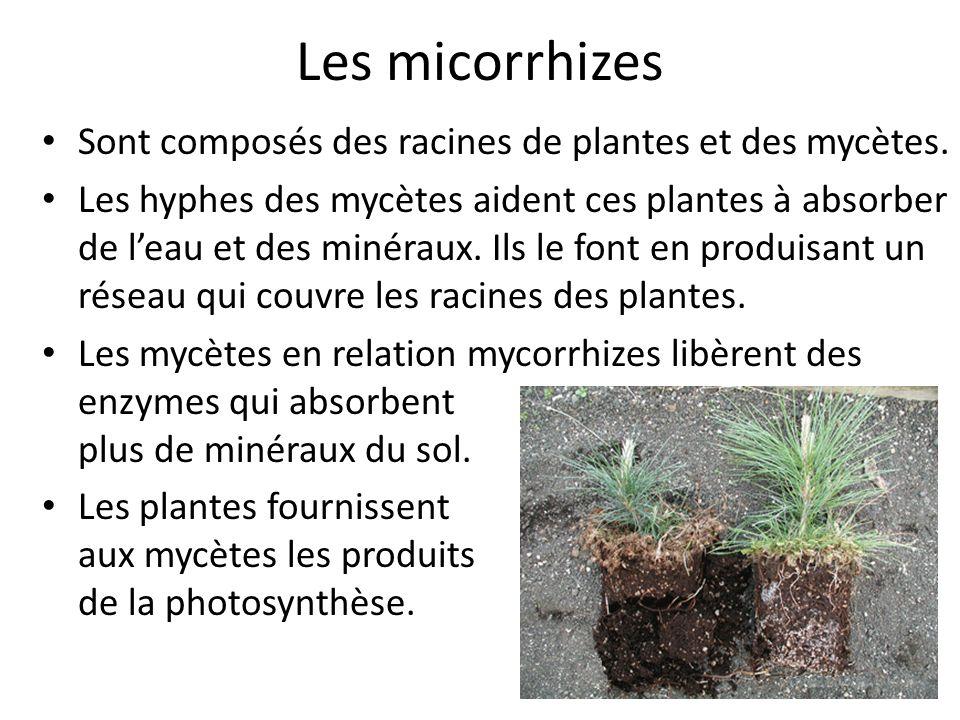 Les micorrhizes Sont composés des racines de plantes et des mycètes.