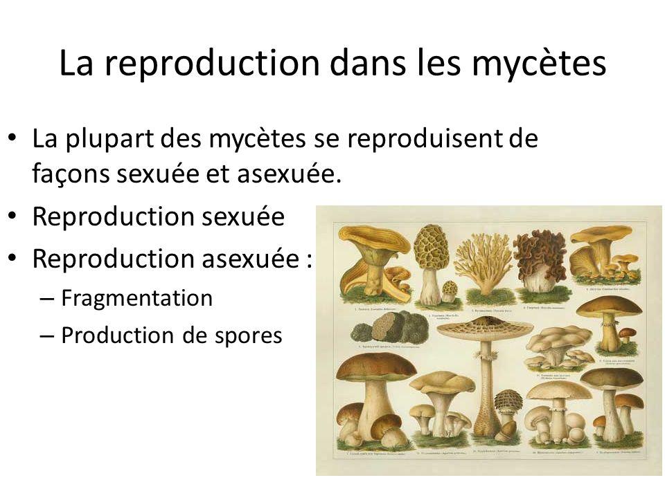 La reproduction dans les mycètes La plupart des mycètes se reproduisent de façons sexuée et asexuée.