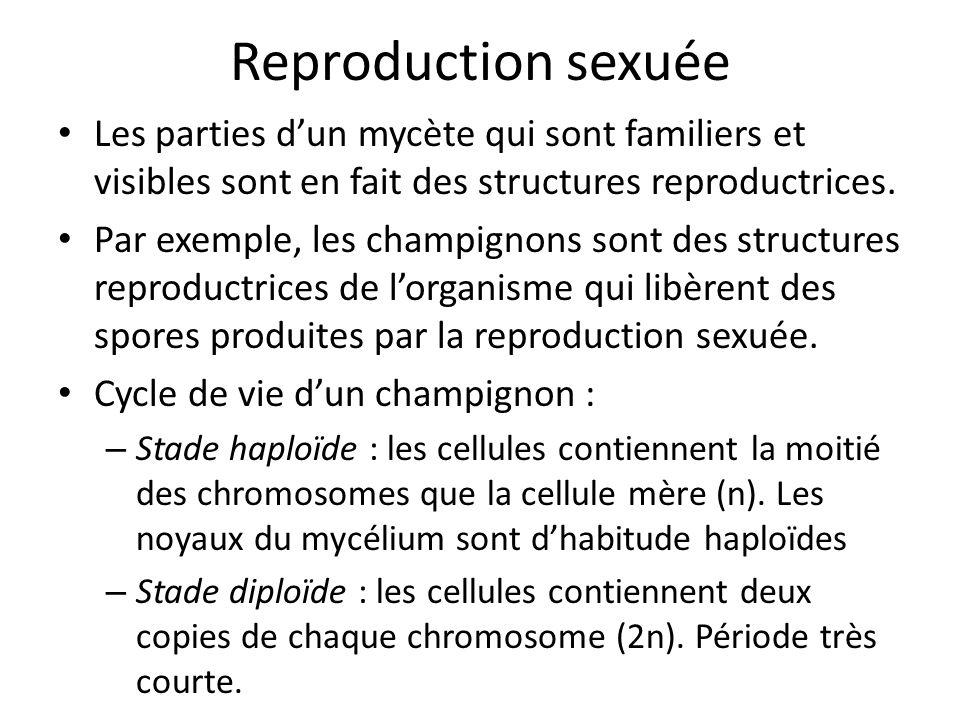 Reproduction sexuée Les parties dun mycète qui sont familiers et visibles sont en fait des structures reproductrices.