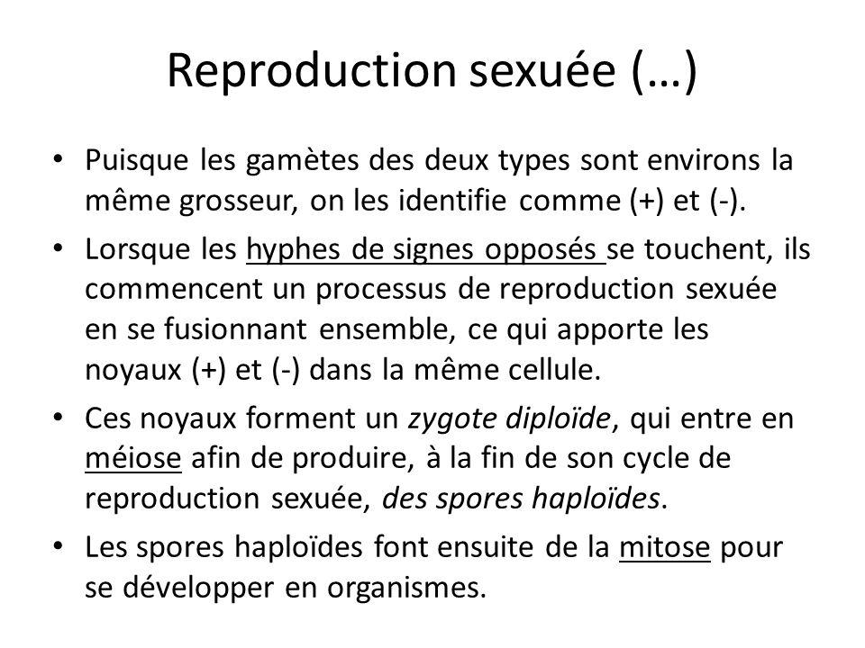 Reproduction sexuée (…) Puisque les gamètes des deux types sont environs la même grosseur, on les identifie comme (+) et (-).