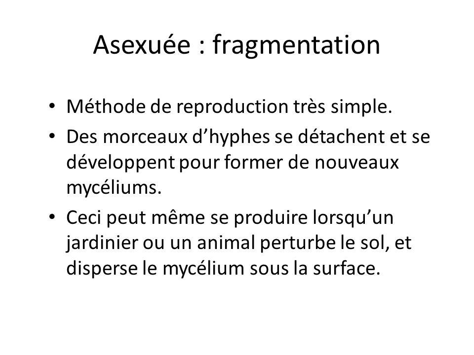 Asexuée : fragmentation Méthode de reproduction très simple.