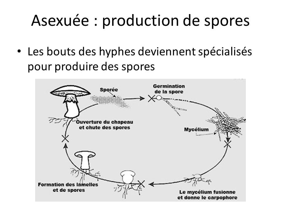 Asexuée : production de spores Les bouts des hyphes deviennent spécialisés pour produire des spores