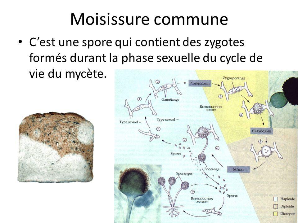 Moisissure commune Cest une spore qui contient des zygotes formés durant la phase sexuelle du cycle de vie du mycète.