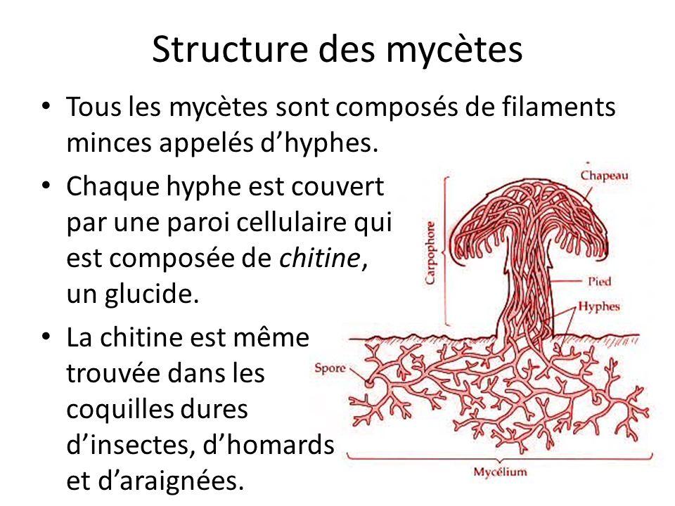 Structure des mycètes Tous les mycètes sont composés de filaments minces appelés dhyphes.