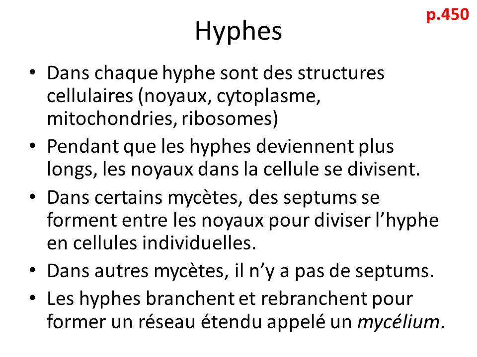 Hyphes Dans chaque hyphe sont des structures cellulaires (noyaux, cytoplasme, mitochondries, ribosomes) Pendant que les hyphes deviennent plus longs, les noyaux dans la cellule se divisent.