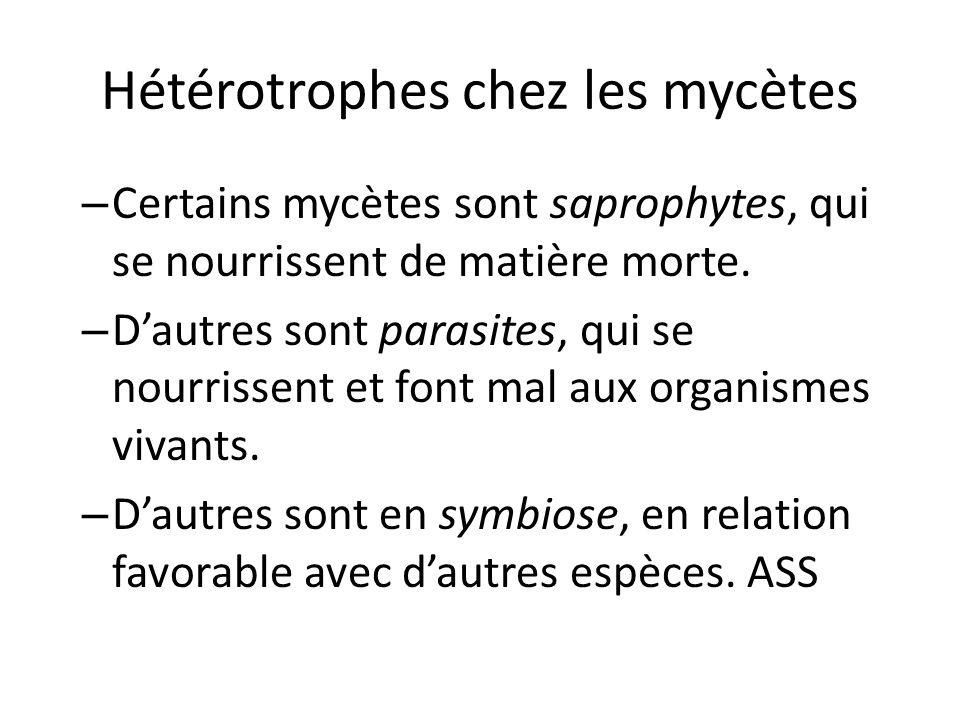 Hétérotrophes chez les mycètes – Certains mycètes sont saprophytes, qui se nourrissent de matière morte.