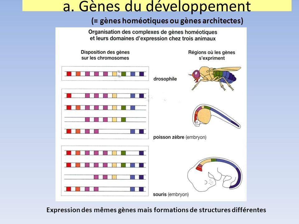 Expression des mêmes gènes mais formations de structures différentes a. Gènes du développement (= gènes homéotiques ou gènes architectes)