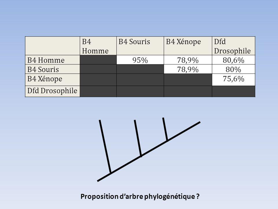 B4 Homme B4 SourisB4 XénopeDfd Drosophile B4 Homme95%78,9%80,6% B4 Souris78,9%80% B4 Xénope75,6% Dfd Drosophile Proposition darbre phylogénétique ?
