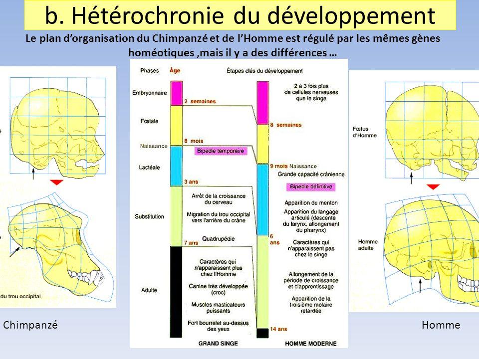 b. Hétérochronie du développement Le plan dorganisation du Chimpanzé et de lHomme est régulé par les mêmes gènes homéotiques,mais il y a des différenc