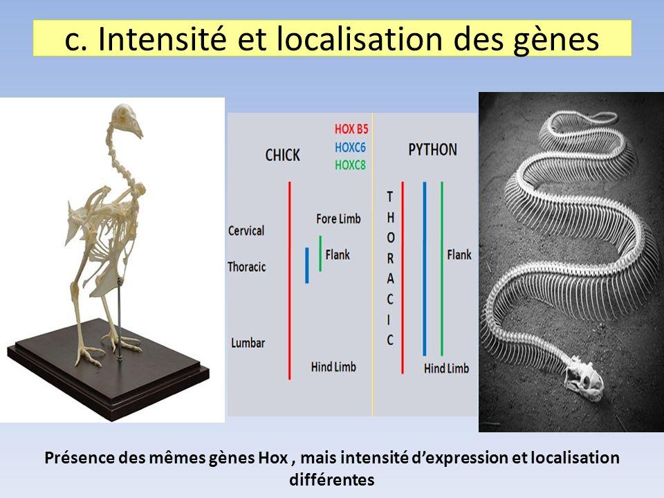 c. Intensité et localisation des gènes Présence des mêmes gènes Hox, mais intensité dexpression et localisation différentes