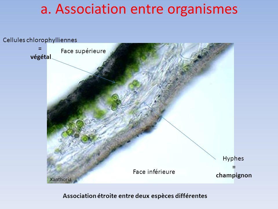 Face supérieure Face inférieure Cellules chlorophylliennes = végétal Association étroite entre deux espèces différentes Hyphes = champignon Xanthoria