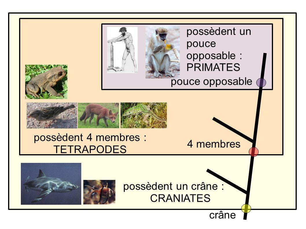 possèdent un crâne : CRANIATES possèdent 4 membres : TETRAPODES possèdent un pouce opposable : PRIMATES pouce opposable crâne 4 membres