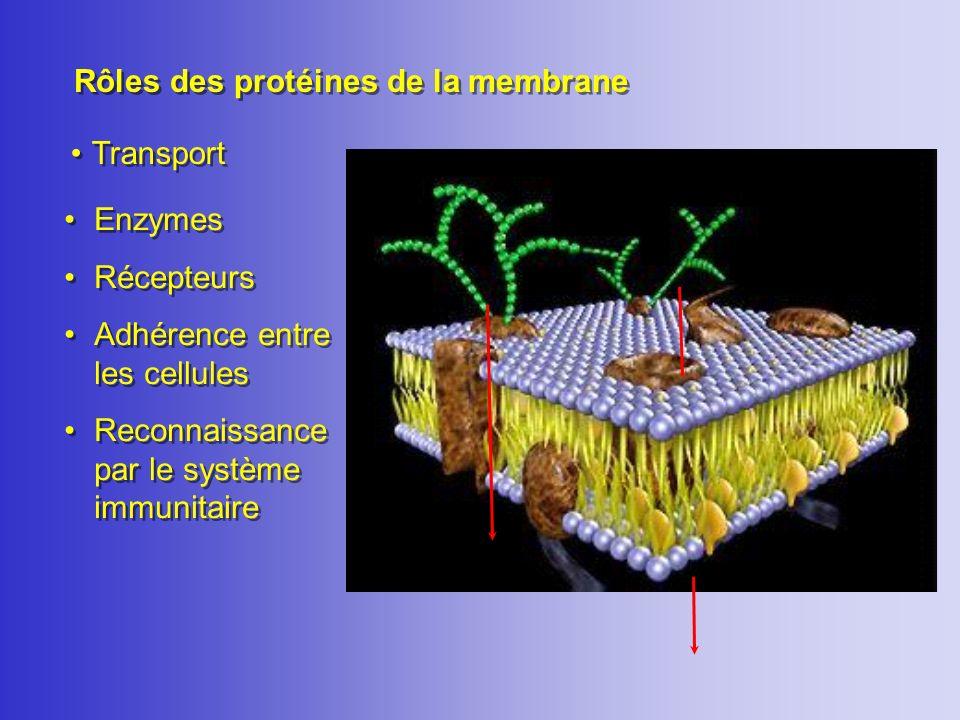 Rôles des protéines de la membrane Transport Enzymes Récepteurs Adhérence entre les cellules Reconnaissance par le système immunitaire Enzymes Récepte