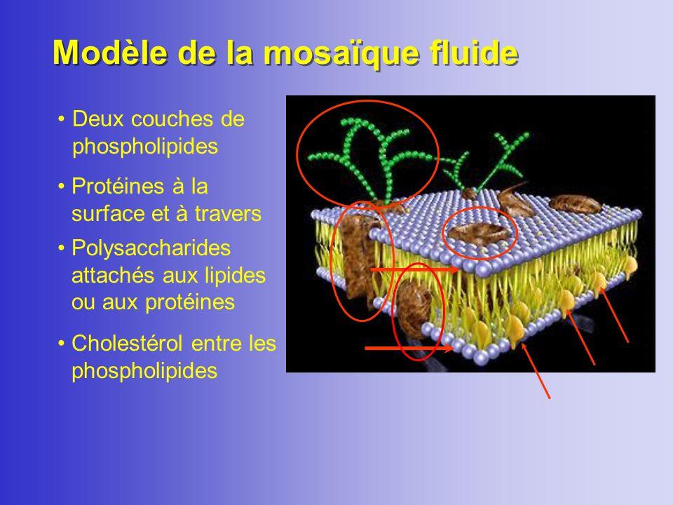 Cholestérol : rôle dans le maintien de la fluidité de la membrane LIPIDES Phospholipides (deux couches) Cholestérol (15% à 50 % du total des lipides)
