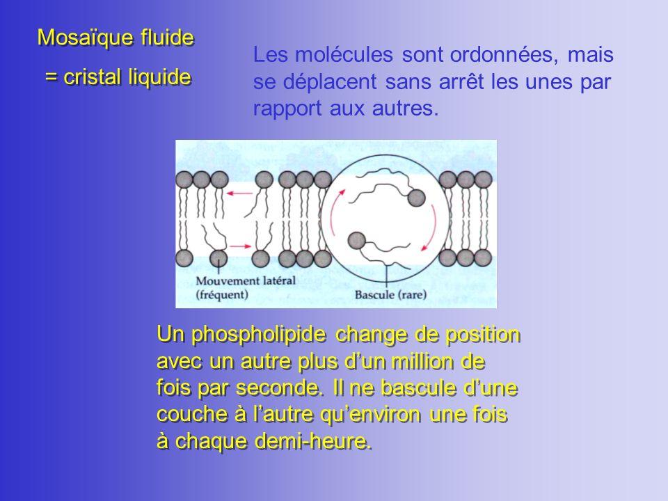 Mosaïque fluide Les molécules sont ordonnées, mais se déplacent sans arrêt les unes par rapport aux autres. Un phospholipide change de position avec u