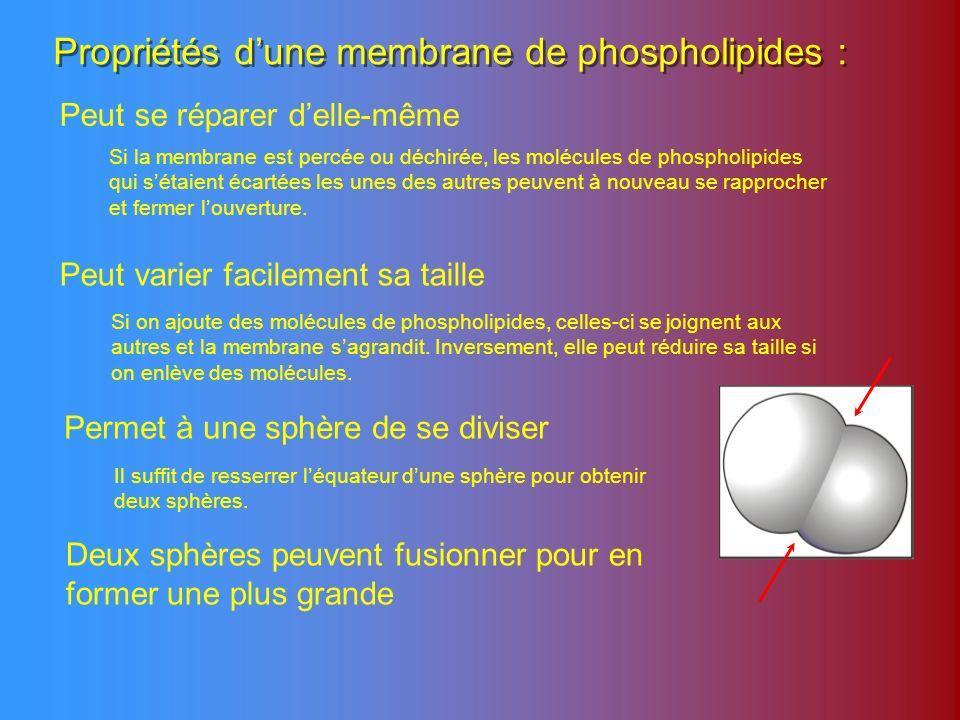 Perméabilité sélective La double couche de lipides est perméable: Aux molécules très petites (H 2 O, CO 2, O 2 ) Aux molécules liposolubles (hydrophobes, non polaires) La double couche de lipides est imperméable: Aux grosses molécules et à la plupart des molécules polaires Aux ions (K +, Cl -, Na + )