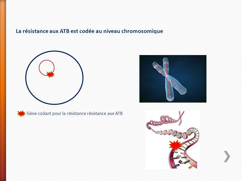 La résistance aux ATB est codée au niveau chromosomique Gène codant pour la résistance résistance aux ATB