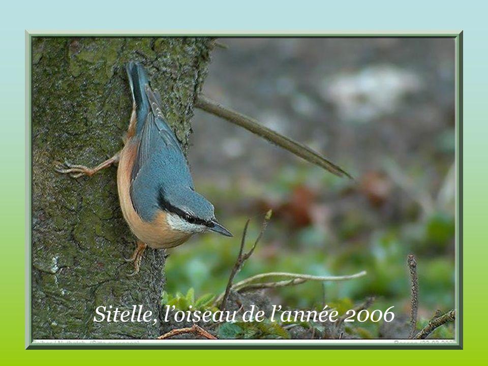Sitelle, loiseau de lannée 2006
