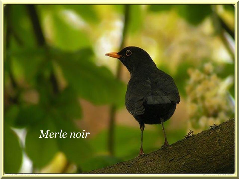 Merle noir