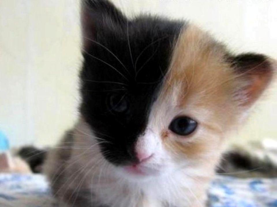 Cette jolie petite chatte possède deux visages avec une symétrie parfaite au niveau de la tête. Dun côté noir et de lautre, roux En génétique, on appe