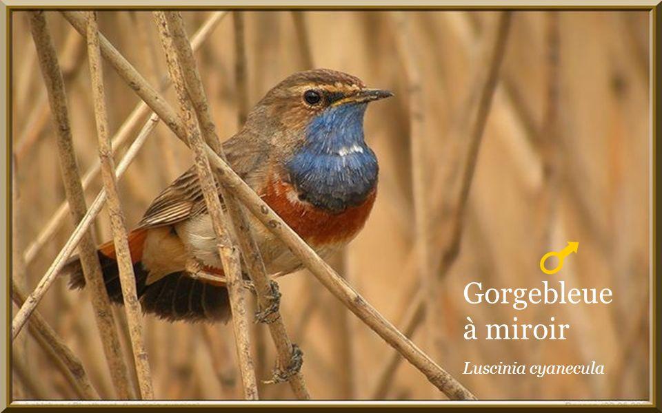 Musique Compagnons de la chanson. Si tous les oiseaux du monde.