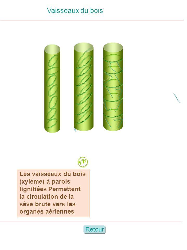 Vaisseaux du bois Les vaisseaux du bois (xylème) à parois lignifiées Permettent la circulation de la sève brute vers les organes aériennes Retour