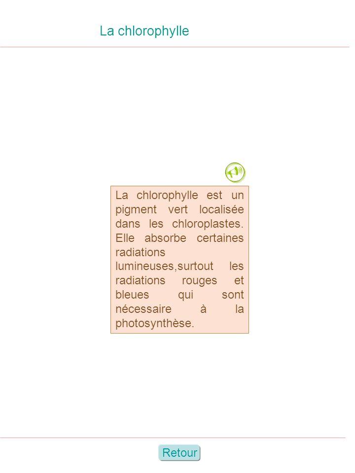 La chlorophylle Retour La chlorophylle est un pigment vert localisée dans les chloroplastes. Elle absorbe certaines radiations lumineuses,surtout les