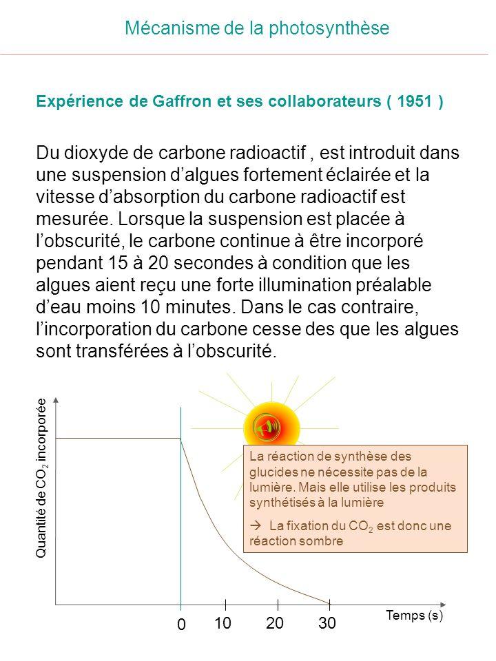 Mécanisme de la photosynthèse Expérience de Gaffron et ses collaborateurs ( 1951 ) Du dioxyde de carbone radioactif, est introduit dans une suspension