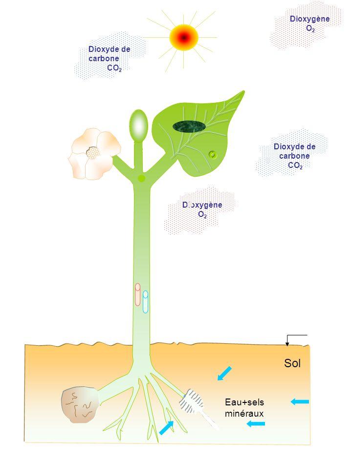 Dioxygène O 2 Sol Dioxyde de carbone CO 2 Eau+sels minéraux Dioxygène O 2 Dioxyde de carbone CO 2