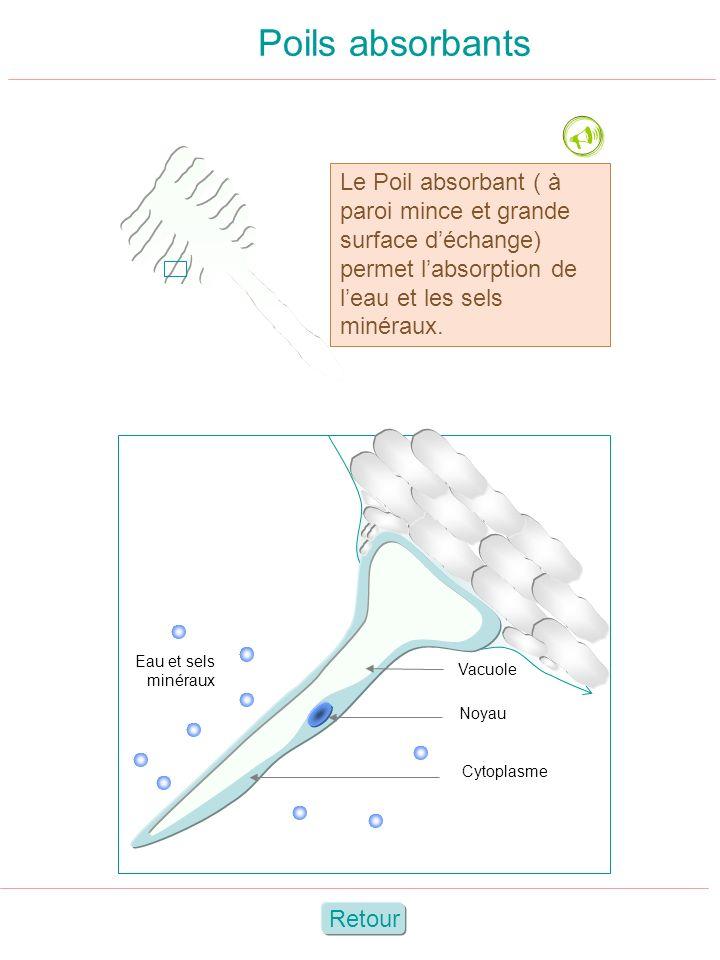 Poils absorbants Vacuole Noyau Cytoplasme Eau et sels minéraux Le Poil absorbant ( à paroi mince et grande surface déchange) permet labsorption de lea