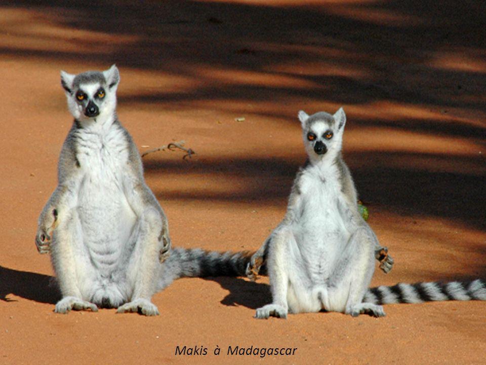 Makis à Madagascar