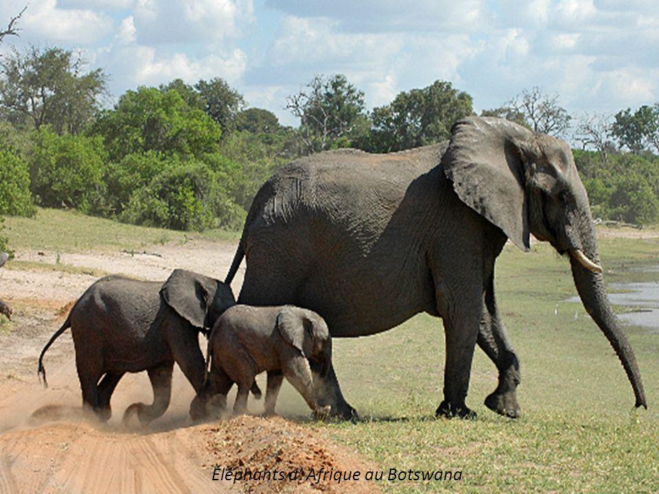 Lionnes à l abreuvoir au Botswana