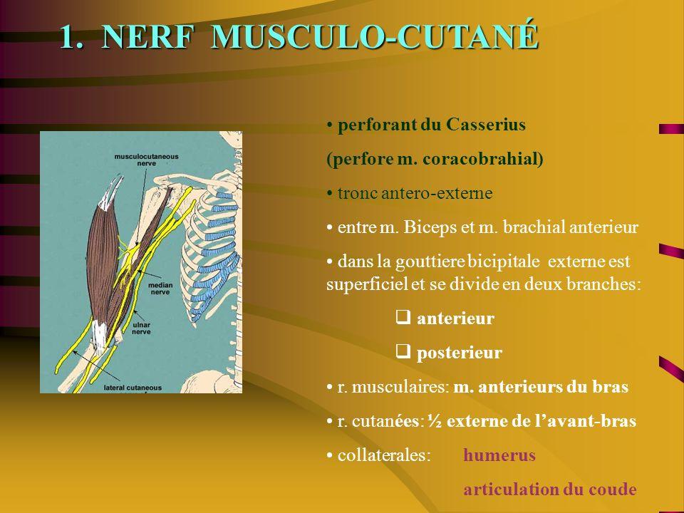 1. NERF MUSCULO-CUTANÉ perforant du Casserius (perfore m. coracobrahial) tronc antero-externe entre m. Biceps et m. brachial anterieur dans la gouttie