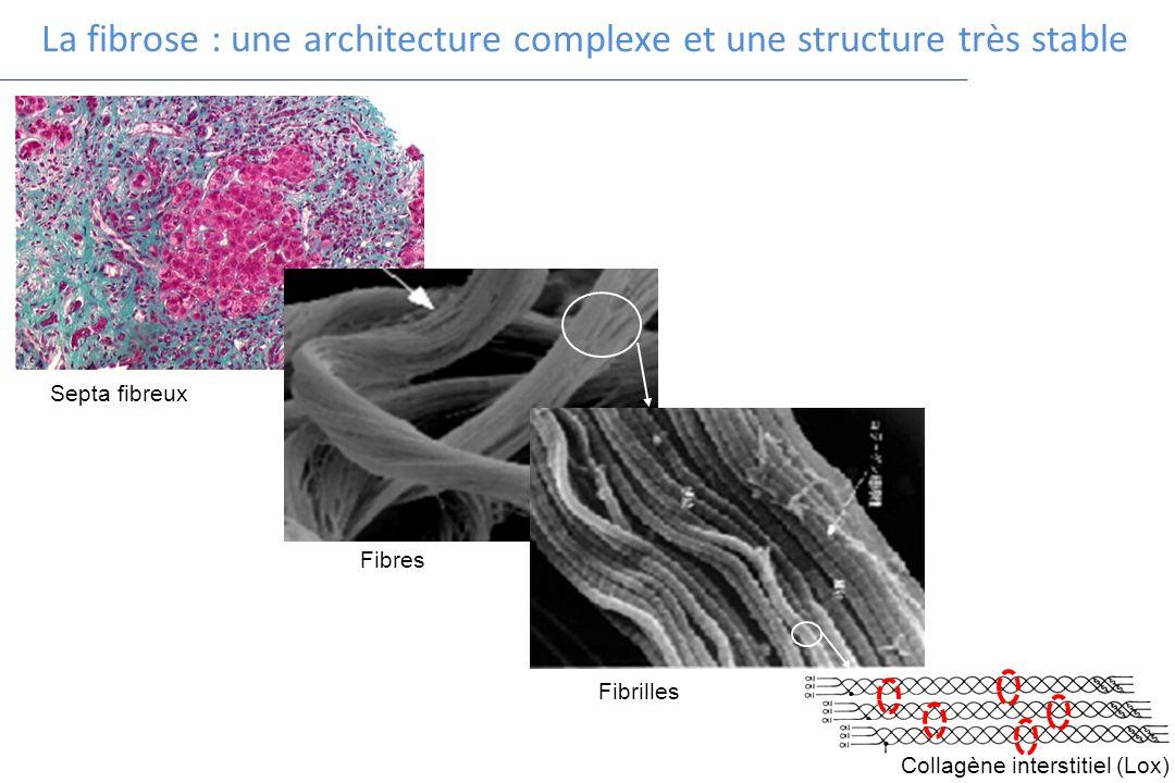 La fibrose : une architecture complexe et une structure très stable Septa fibreux Fibres Fibrilles Collagène interstitiel (Lox)