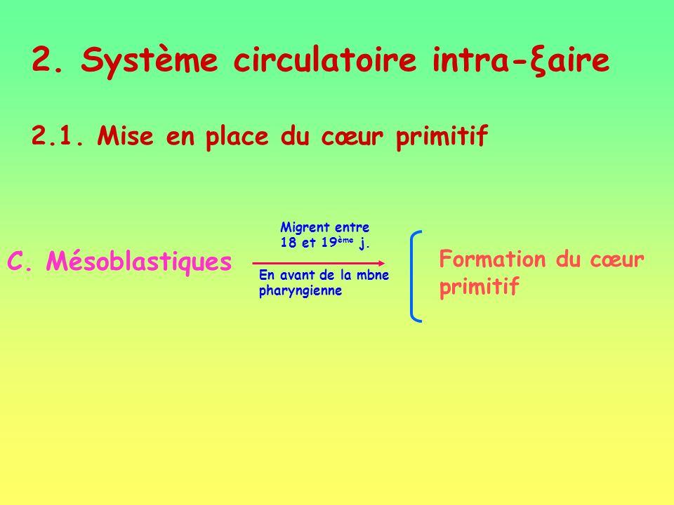 2.Système circulatoire intra-ξaire 2.1. Mise en place du cœur primitif C.
