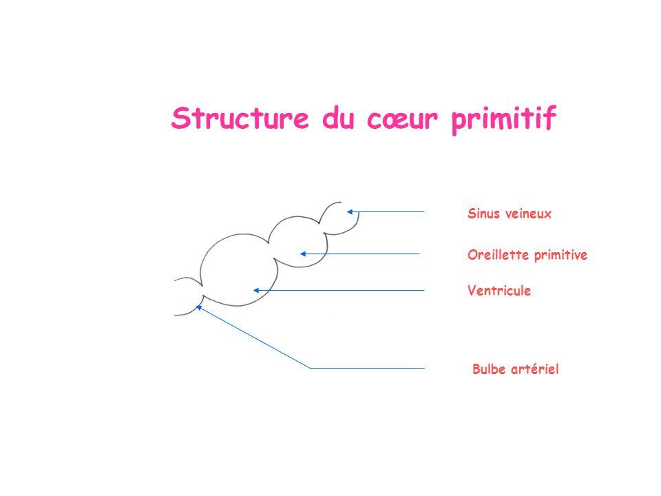 Structure du cœur primitif Sinus veineux Oreillette primitive Ventricule Bulbe artériel