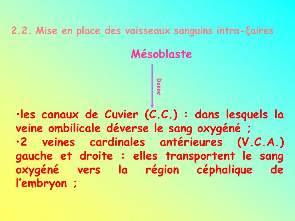 2.2. Mise en place des vaisseaux sanguins intra-ξaires Mésoblaste Donne les canaux de Cuvier (C.C.) : dans lesquels la veine ombilicale déverse le san