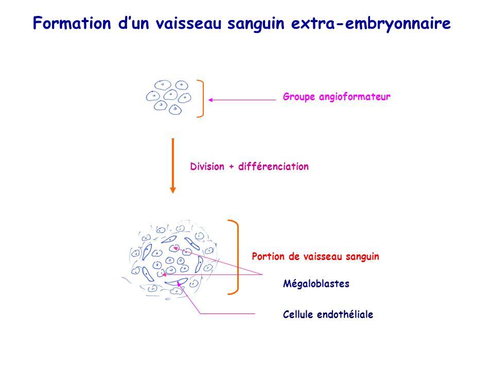 Groupe angioformateur Division + différenciation Portion de vaisseau sanguin Mégaloblastes Cellule endothéliale Formation dun vaisseau sanguin extra-embryonnaire