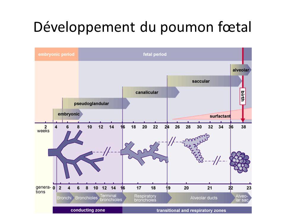Développement du poumon fœtal